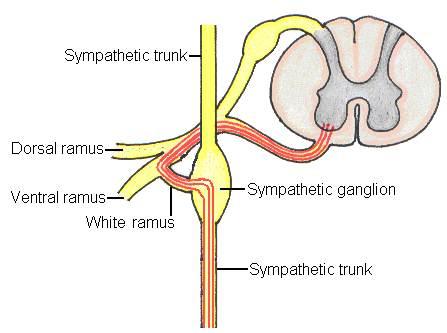 sympathetic trunk