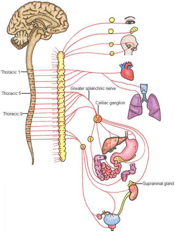 CST and Autonomic Nervous System